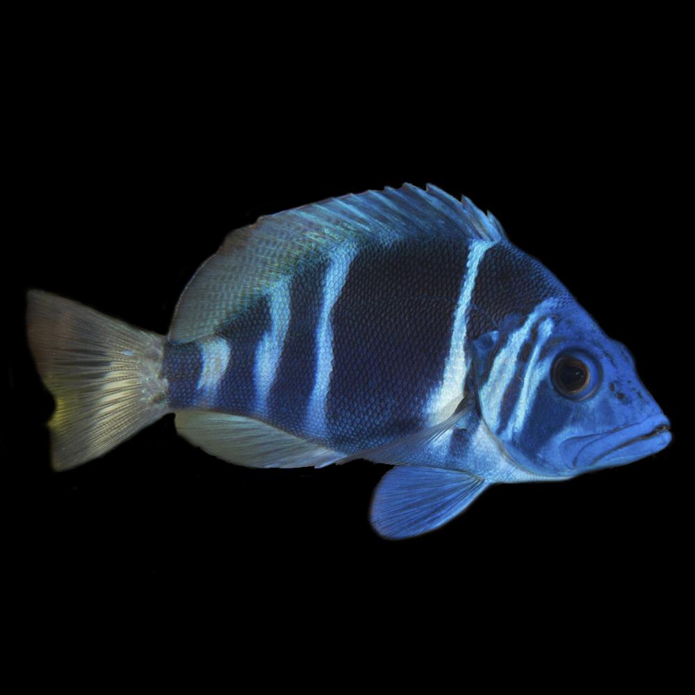 Hamlet Fish
