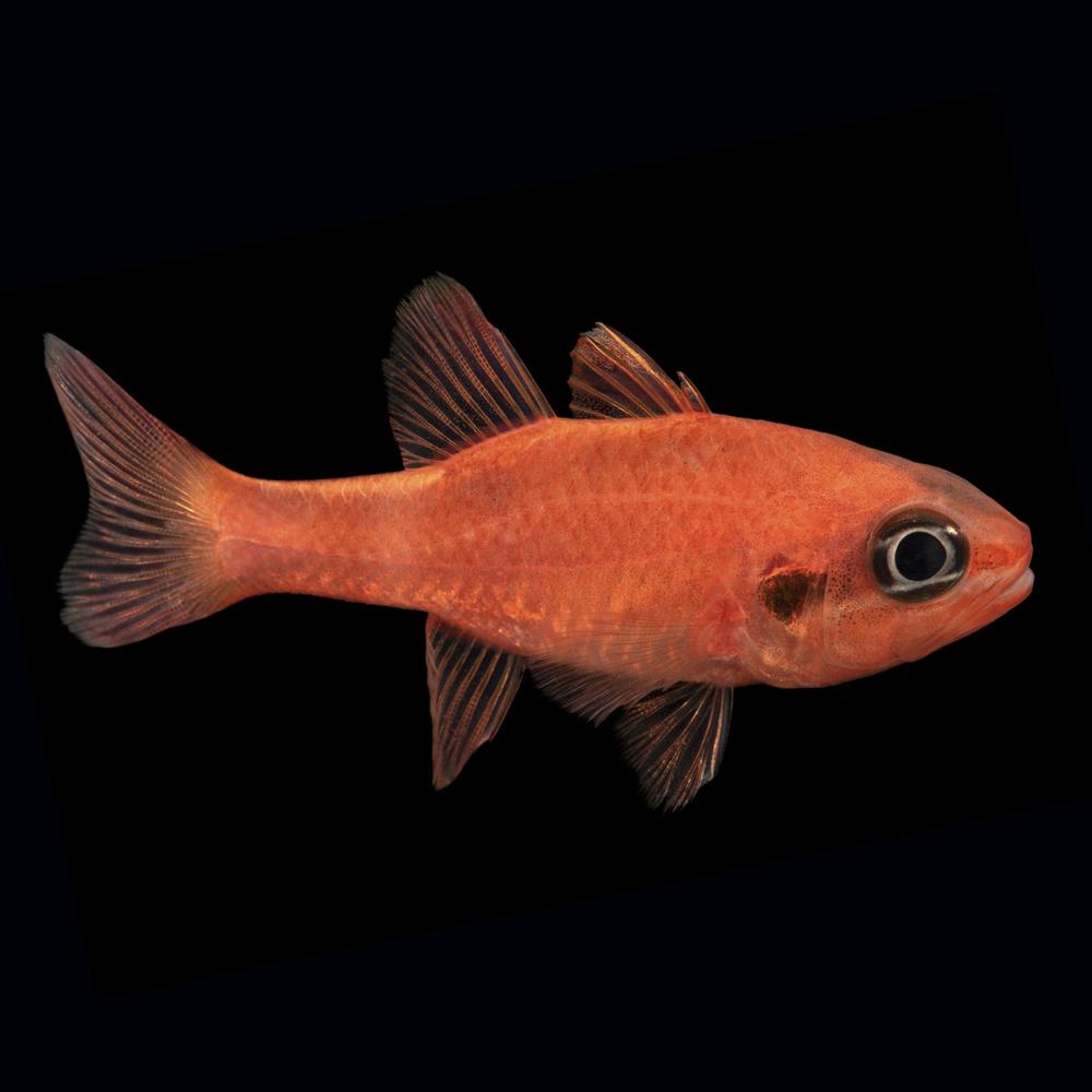 Cardinalfish & Solider Fish