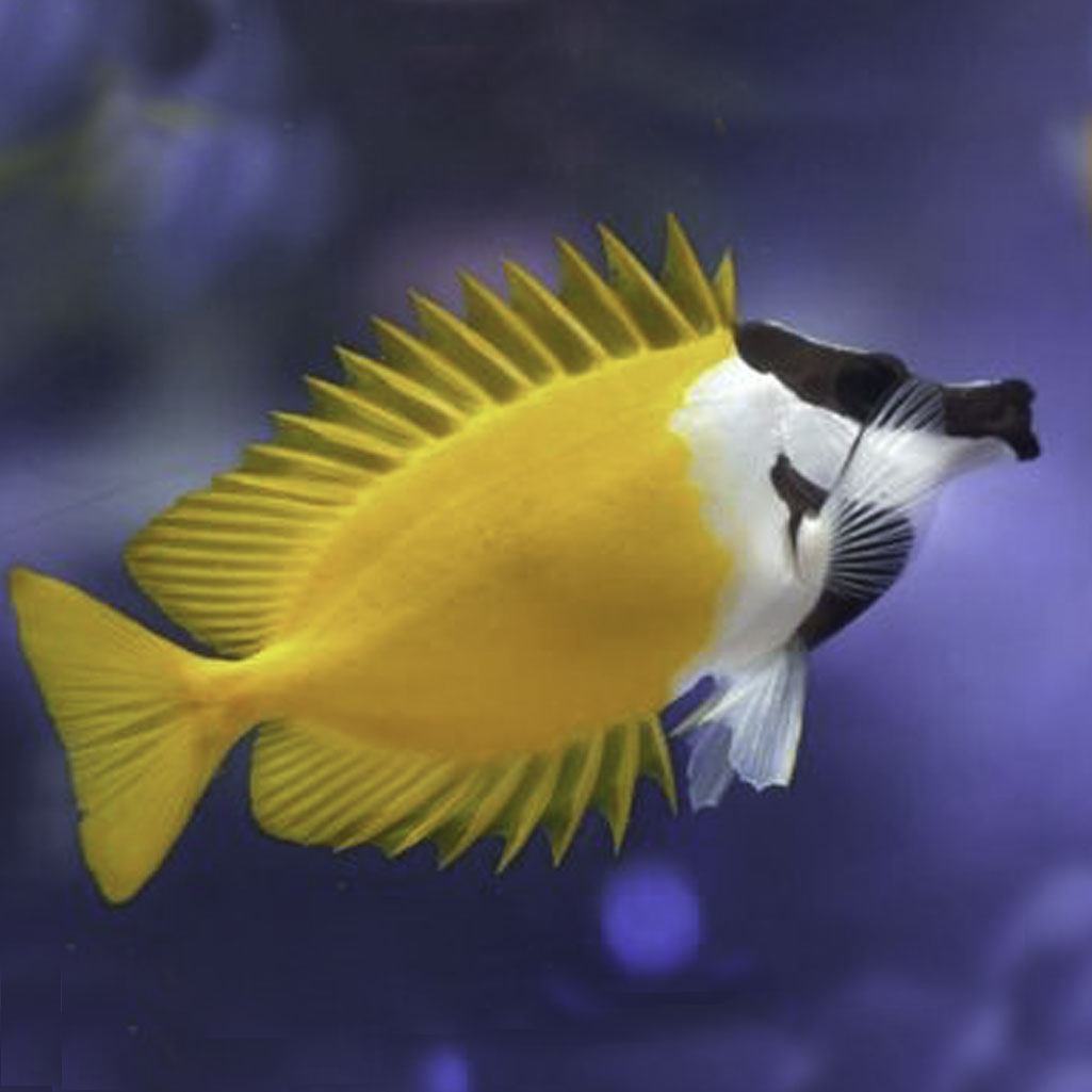 Foxface & Rabbitfish